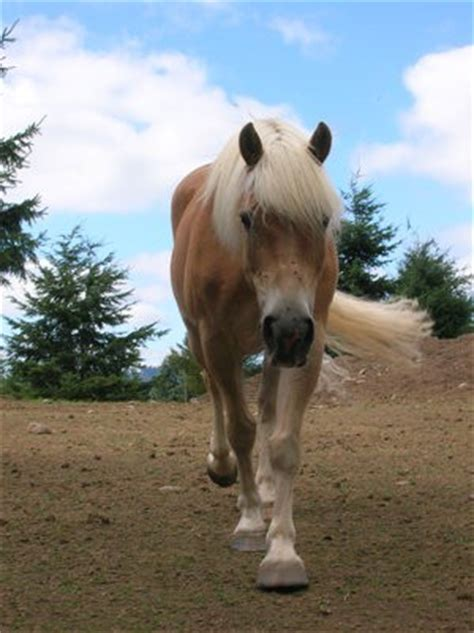 Welcome to page about haflinger! - Hafling obecně