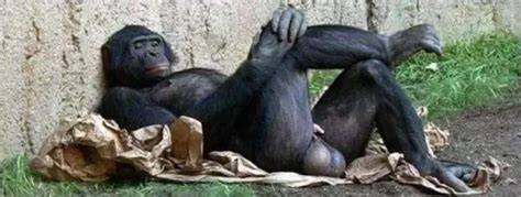 Chimps, bonobos, and the evidence that humans are